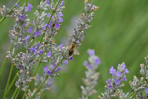 Lavender, Bee, Insect, Violet, Nectar, Nature, Collect