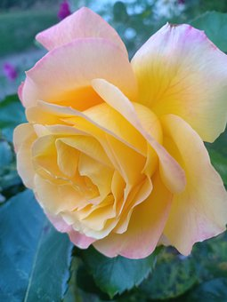 Rose, Yellow, Flower, Petal, Bloom, Macro, Plant
