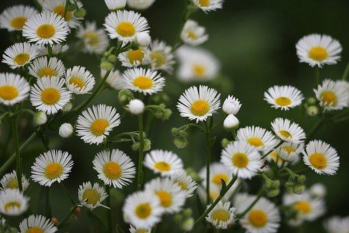 Erigeron Annuus, Daisy Fleabane, Meadow Flower