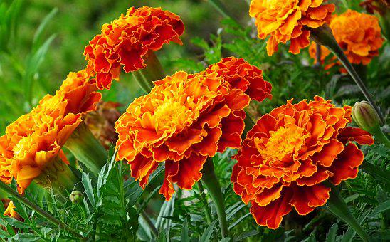 Marigold, Flowers, Colorful, Summer, Garden, Nature