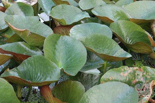 Waterlily Leaves, Pond, Outdoor, Garden, Nature
