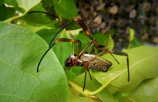 Spider The Golden Silk, Nephila Clavipes, Spider
