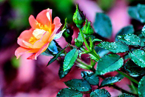 Rose, Paprika, Orange, Healthy, Nature, Plant, Summer
