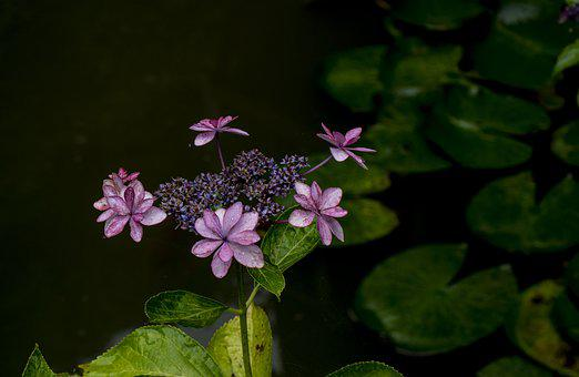 Pond, Hydrangea, Water Lily, Plant, Flowers, Spring