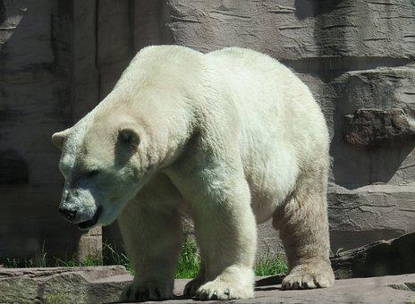 Animal World, Polar Bear, Predator, Arctic, Mammal