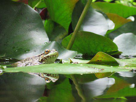 Frog, Nature, Pond, Green, Water, Plant, Creature