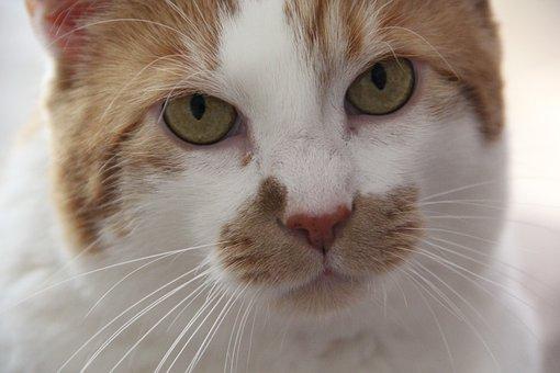 Cat, Animal, Portrait, Head, Charming, Cat's Eyes