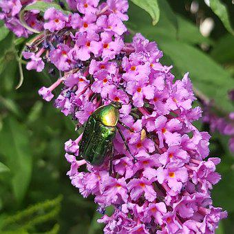 Summer Lilac, Purple, Blossom, Bloom, Butterfly Bush