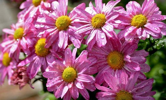 Chrysanthemums, Flowers, Raindrops, Bloom