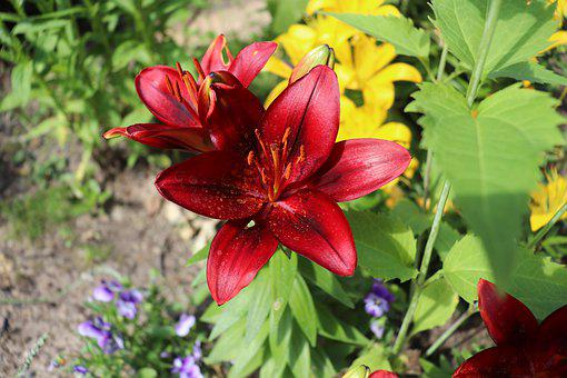 Lily, Red, Bed, Flowers, Garden, Summer, Sun, Light