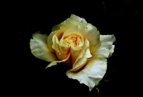 Rose, Flower, Romantic, Beauty, Garden, The Smell Of