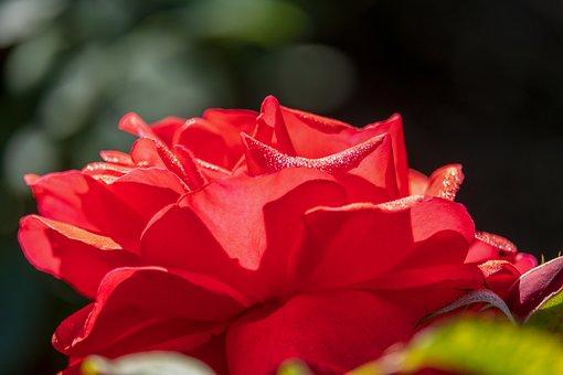 Rose, Red, Flower, Nature, Bloom, Blossom, Bloom, Wet