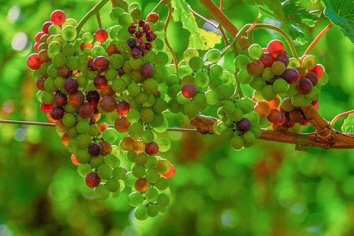 Grapes, Light, Shadow, Fruit, Vine, Backlighting, Plant
