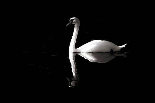 Swan, Black-and-white, Solitaire, Purity, Reflection