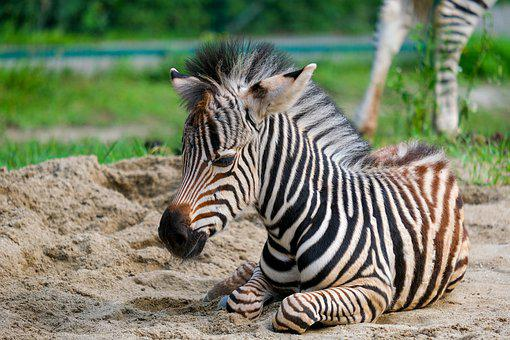 Zebra, Young Animal, Striped, Animal, Stripes, Foal