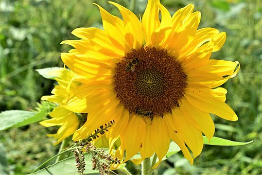 Sunflower, Flower, Summer, Yellow, Nature, Blossom