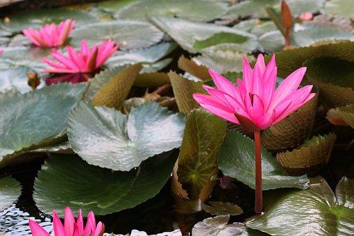 Garden, Lotus Flowers Pond, Nature, Summer, Meditation