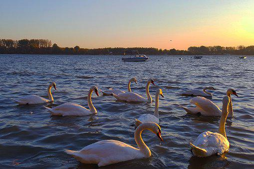 Swans, Sunset, Water, Birds, Serbia, The Danube, River