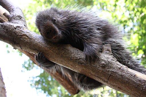 Urson, Porcupines, Climb, Curious, Guinea Pig Related