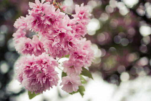 Japanese Cherry Trees, Flowers, Spring, Wallpaper
