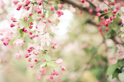 The Japanese Tree, Flowers, Spring, Wallpaper