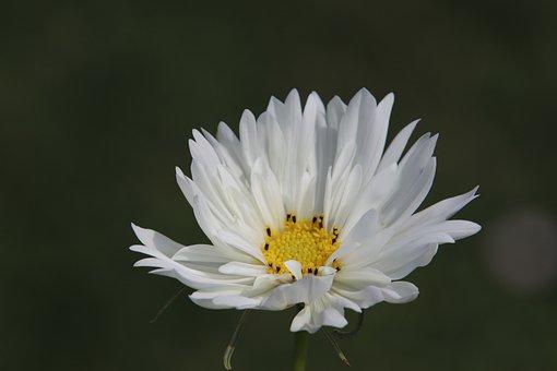Flower, White, Heart Yellow, Plants, Garden, Gardening