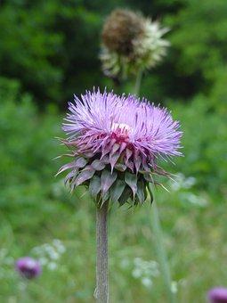 Thistle, Purple, Prickly, Flower, Wildflower