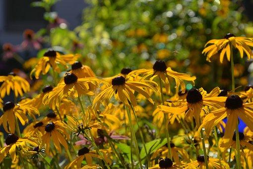 Coneflower, Yellow Coneflower, Yellow, Flower, Blossom