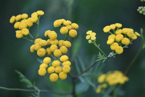 Immortelle, Helichrysum, Flower, Plant, Yellow, Green