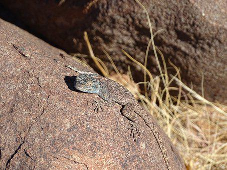 Lizard, Africa, Namibia, Animal World, Gecko, Scale