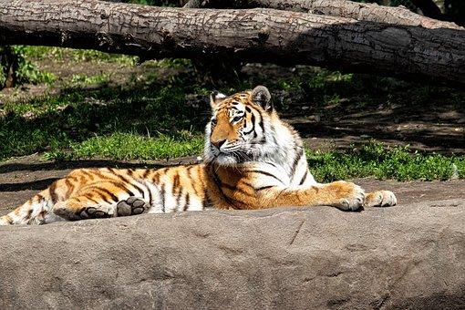Tiger, Mammal, Animal, Animal World, Predator