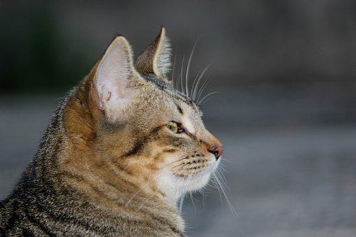 Cat, Feline, Animal, Pet, Portrait, Domestic, Housecat