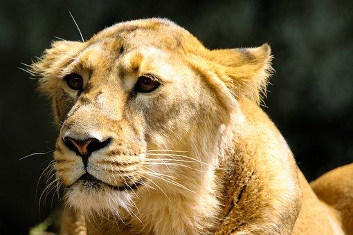 Animal World, Predator, Lion, Big Cat, Dangerous