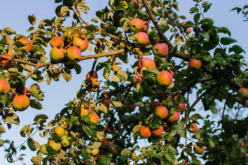Apple Tree, Apples, Garden, Vegetable Garden, Fruit