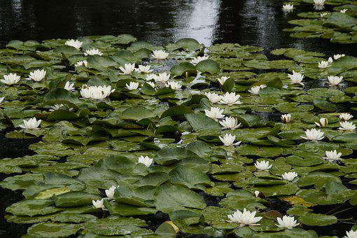 Lake, Water Lilies, Blossom, Bloom, Bloom