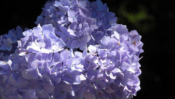 Hydrangea, Flower, Inflorescence, Blue, Close Up