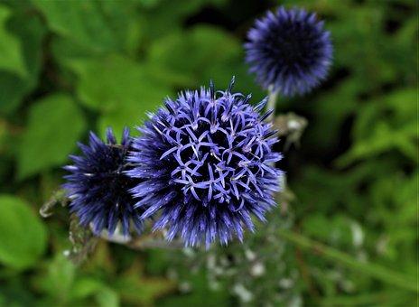 Blue, Flower, Plant, Nature, Garden, Bloom, Flora