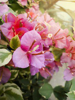 Bougainvillea, Closeup, Bloom, Pink, Flower, Beautiful