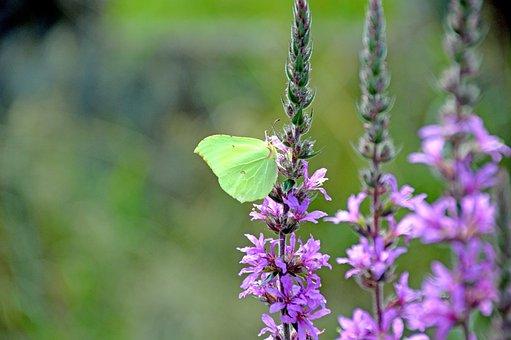 Butterfly, Zitronenfalter, Schmetterling, Nature