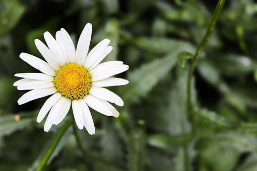 Flower, Beautiful Flower, Chamomile, Camomile, Nature