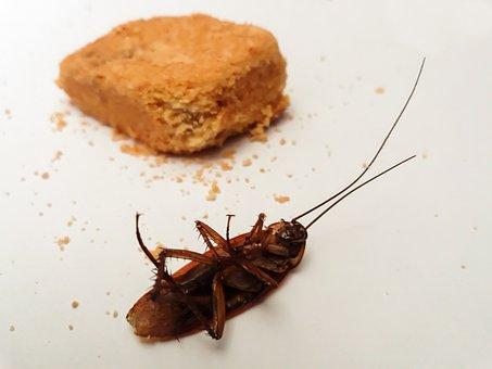 Cockroach, Animal, Closeup, Dessert, Dinner, Dirty