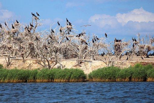 Cormorants, Nesting Place, Nest, Hatchery, Bird