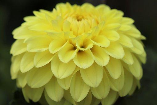 Dahlia, Dahlia Flower, Blossom, Bloom, Flower