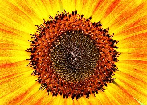 Sunflower, Bloom, Flower, Yellow, Blossom, Summer