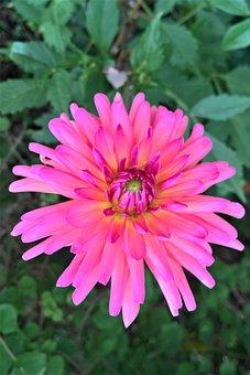 Flower, Dahlia, Ornamental Plant, Flower Garden, Summer