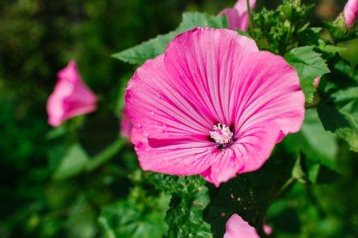 Lavatera, Flower, Flowers, Pink, Nature, Grass, Plant