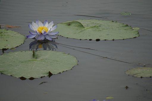 Lotus, Lotus Seed, Summer, Flowers, Plants
