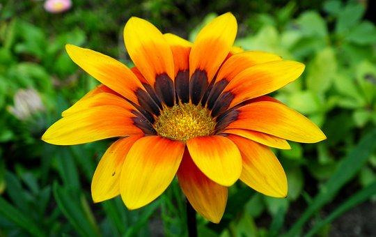 Gazania, Flower, Nature, Garden, Summer, Closeup