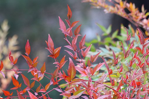 Leaves, Bush, Colorful, Red, Green Foliage, Garden
