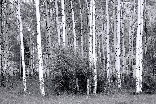 Haunted Forest, Forest, Haunted, Spooky, Aspens